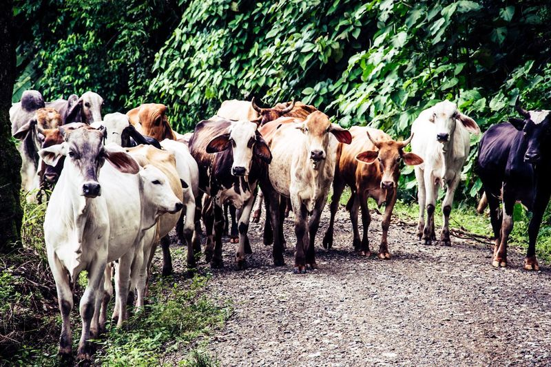Cow Livestock Outdoors Nature No People Wildlife & Nature Costa Rica Domestic Animals Animal Themes Mammal Day First Eyeem Photo