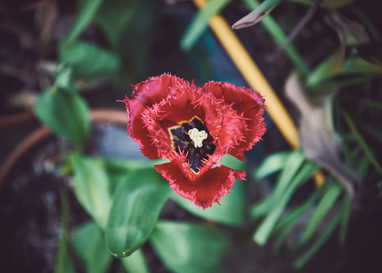 Plant Flower Flowering Plant Growth Vulnerability  Fragility Beauty In Nature Petal Freshness Close-up Flower Head Red Inflorescence Plant Part Nature Leaf No People Focus On Foreground Day High Angle View Pollen Outdoors
