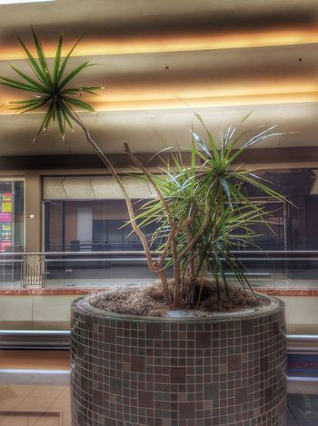 Potted Plant Plant Growth Indoors  No People Nature Architecture Built Structure Day Cactus Greenhouse Modern Illuminated Darkness And Light Atmosphere Eye For Photography Metrocenter Arizona Phoenix Shopping Mall Architecture Glow Shopping Time Mall Nostalgic
