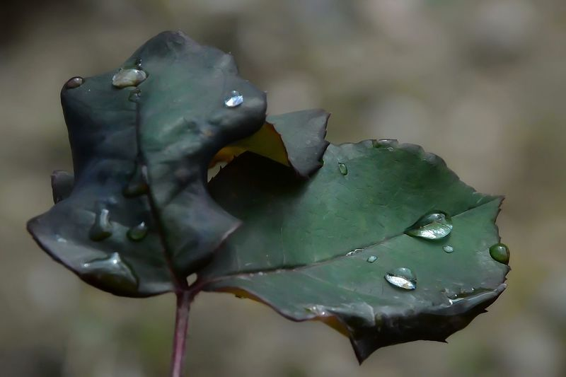 Beauty In Nature Close-up Day Drop Fragility Freshness Leaf Nature Outdoors Plant Water