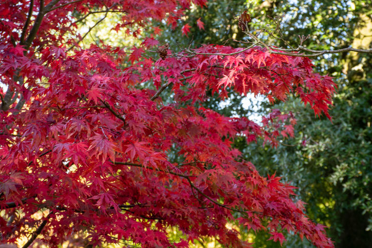 Bright red Acer in forest Plant Tree Beauty In Nature Red Plant Part Leaf Outdoors Maple Leaf Acer Japanese Maple Autumn No People Bright Garden Growth Maple Tree Natural Condition