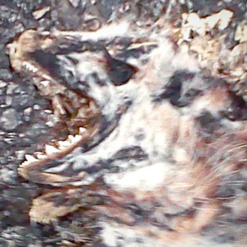 Road Kill PossumFlatened
