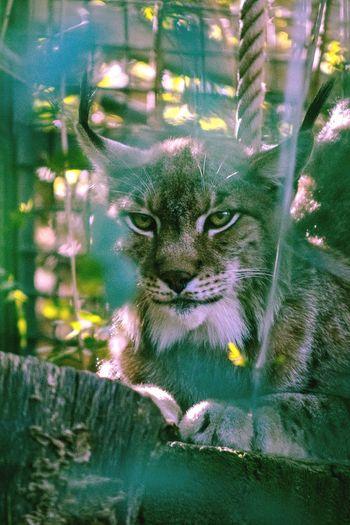 Lynx European