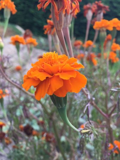 Flowering Plant Flower Plant Fragility Vulnerability  Beauty In Nature Freshness Orange Color Inflorescence Flower Head Growth