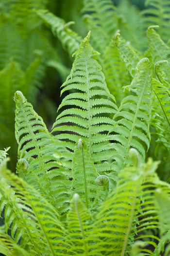 Beauty In Nature Close-up Day Fern Focus On Foreground Freshness Frond Full Frame Green Color Growth Leaf Leaves Natural Pattern Nature No People Outdoors Pattern Plant Plant Part Selective Focus Tranquility