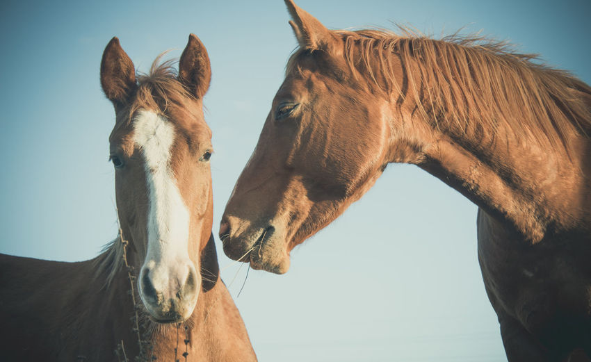 Close-up of a cuple of brown horses against the sky