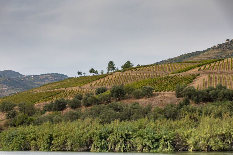 Douro river Portugal surrounded by hillside vineyards Douro  Portugal Beauty In Nature Day Environment Field Grass Green Color Growth Land Landscape Mountain Nature No People Non-urban Scene Outdoors Plant River Rolling Landscape Rural Scene Scenics - Nature Sky Tranquil Scene Tranquility Tree