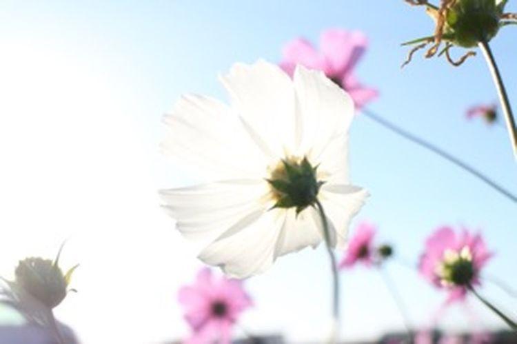 お疲れ様 花 Flower 秋桜 コスモス まだまだ秋桜は元気です(。•ㅅ•。)お疲れ様でした✨