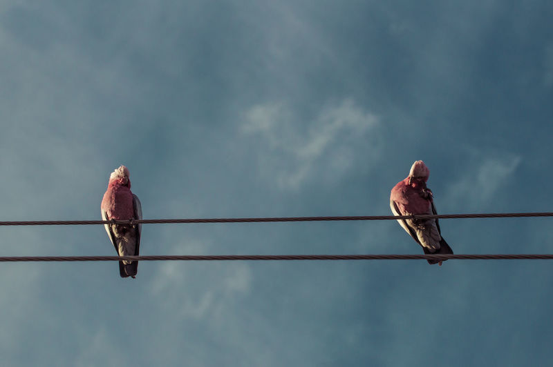 Low Angle View Of Galahs Perching On Cable Against Sky