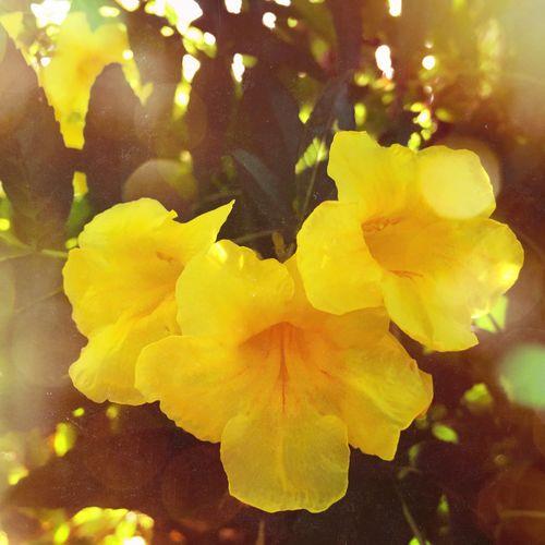 Yellow Yellow Flower Yellow Flowers Yellow Color Flowers Flower Flowerporn Flower Collection Flowers,Plants & Garden Flowers, Nature And Beauty Nature Natur Nature_collection Nature Photography Bokeh Bokeh Photography Golden Golden Light Goldenlight