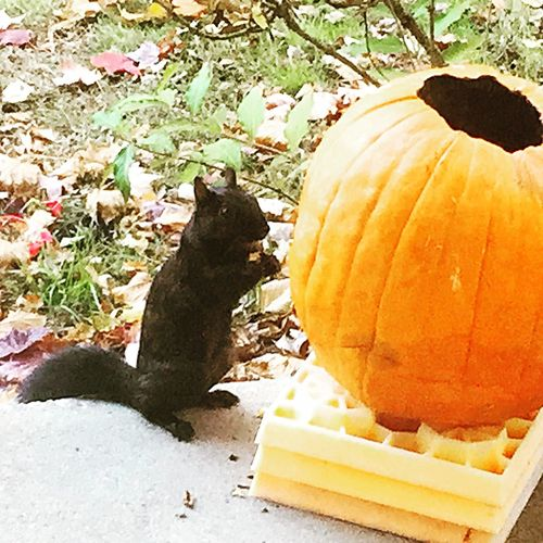 Black Squirrel Mothernature Animals Pumpkin Kent Ohio IPhoneography IPhone Photography Naturephotography
