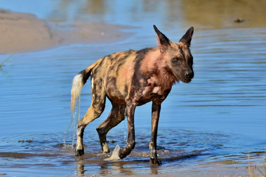 Animal Themes Animals In The Wild Day Mammal Nature No People Outdoors Painted Dog Wild Wild Dog Wild Dogs Wildlife