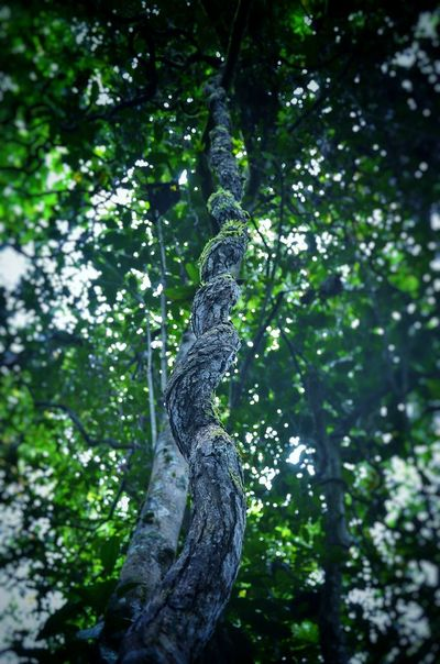 Tree Nature Forest Green Color Tree Trunk Low Angle View Branch Outdoors Beauty In Nature Landscape_Collection Landscape_photography EyeEmNewHere Landscape Travel Forest Adventure Jungle Trecking Jungle Trekking Jungle_expedition