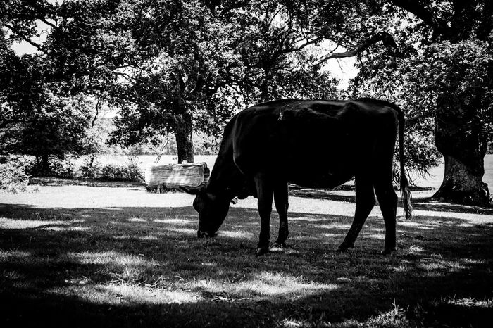 Eating Mucca Noir Et Blanc Shade Trees Biancoenero Blackandwhite Blancoynegro Cow Cow Eating Full Length Livestock No People One Animal Outdoors Standing Undertrees Vaca Vache
