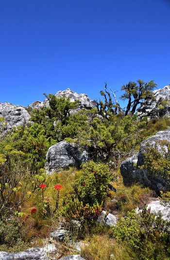Scrub plants on Table Mountain top with red highlights. Table Mountain Ecological Niche Ecology Niche Unique Dead Tree Red Highlights Red Flower Green Plant Rockscape Landscape Clear Sky Tree Beauty In Nature Rock - Object Scenics No People Outdoors Blue Nature Sky Day Betterlandscapes
