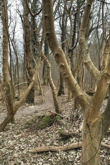 Insel Rügen Ostseebad Göhren am Nordperd im Wald TreePorn In The Forest Naked Trees