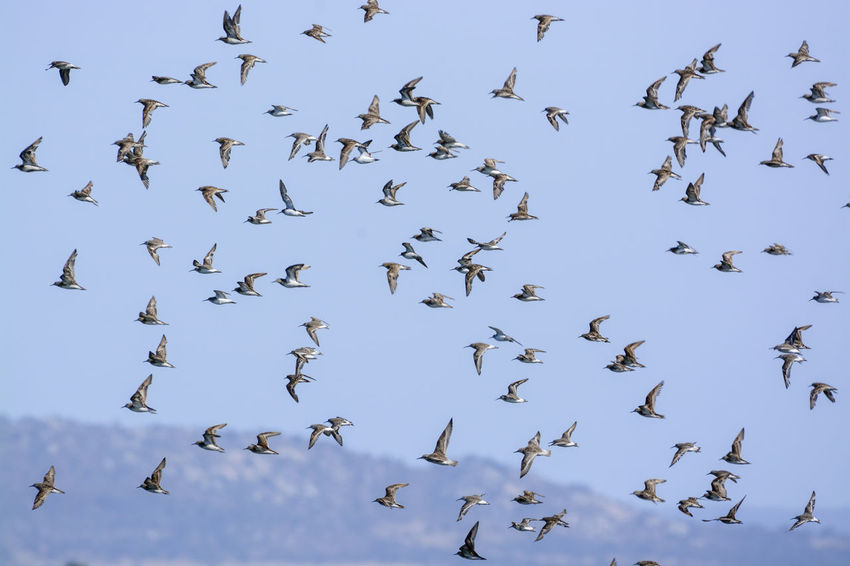 It was taken at Western Treatment Plant in Victoria, Australia. Australia Animal Wildlife Animals In The Wild Beauty In Nature Bird Flock Of Birds Flying Large Group Of Animals Mid-air Nature Shorebird Sky Spread Wings Togetherness Wader