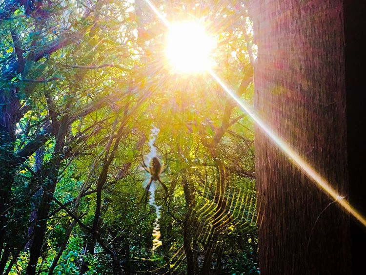 Spider Spiderweb Banana Spider Nature WoodLand Sunbeam Beauty In Nature WoodLand Outdoors Beautiful Nature Beautiful Do Not TOUCH Black And Yellow  RespectNature Forest Lens Flare Nature No People Tranquility Growth Non-urban Scene Tranquil Scene Black And Yellow  Be Still Finding His Mate