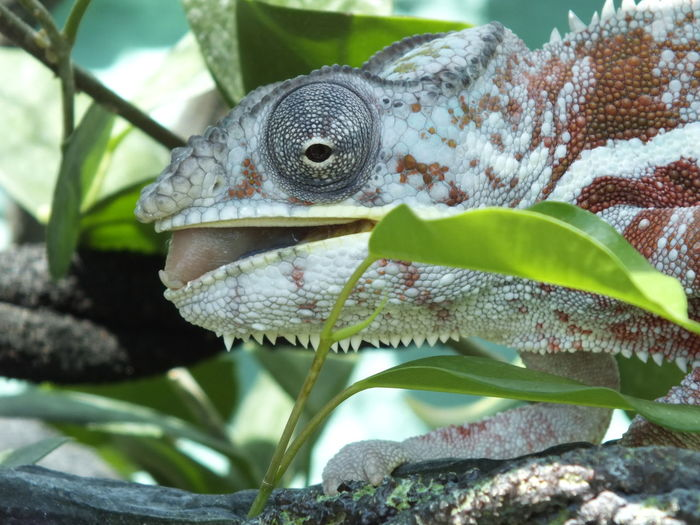 Animal Themes Animal Wildlife Animals In The Wild Beauty In Nature Chameleon Close-up Day Freshness Green Color Growth Leaf Nature No People One Animal Outdoors Plant Reptile