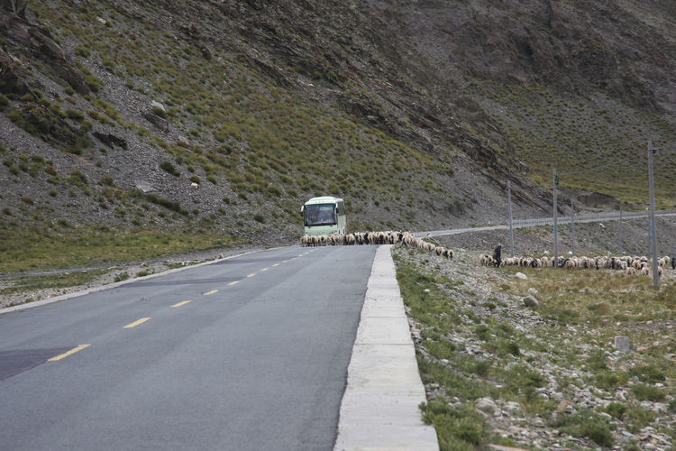 Sheep with man and bus road