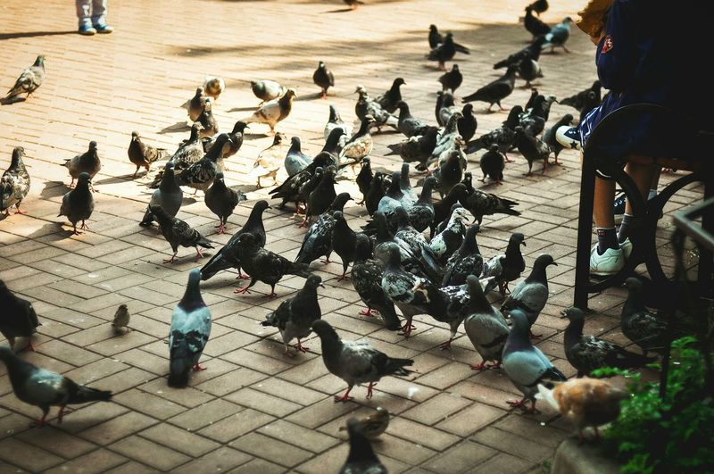 Hunger Bird Pigeon Flock Of Birds High Angle View Togetherness Hungry Pigeon Russia Kronshtadt City
