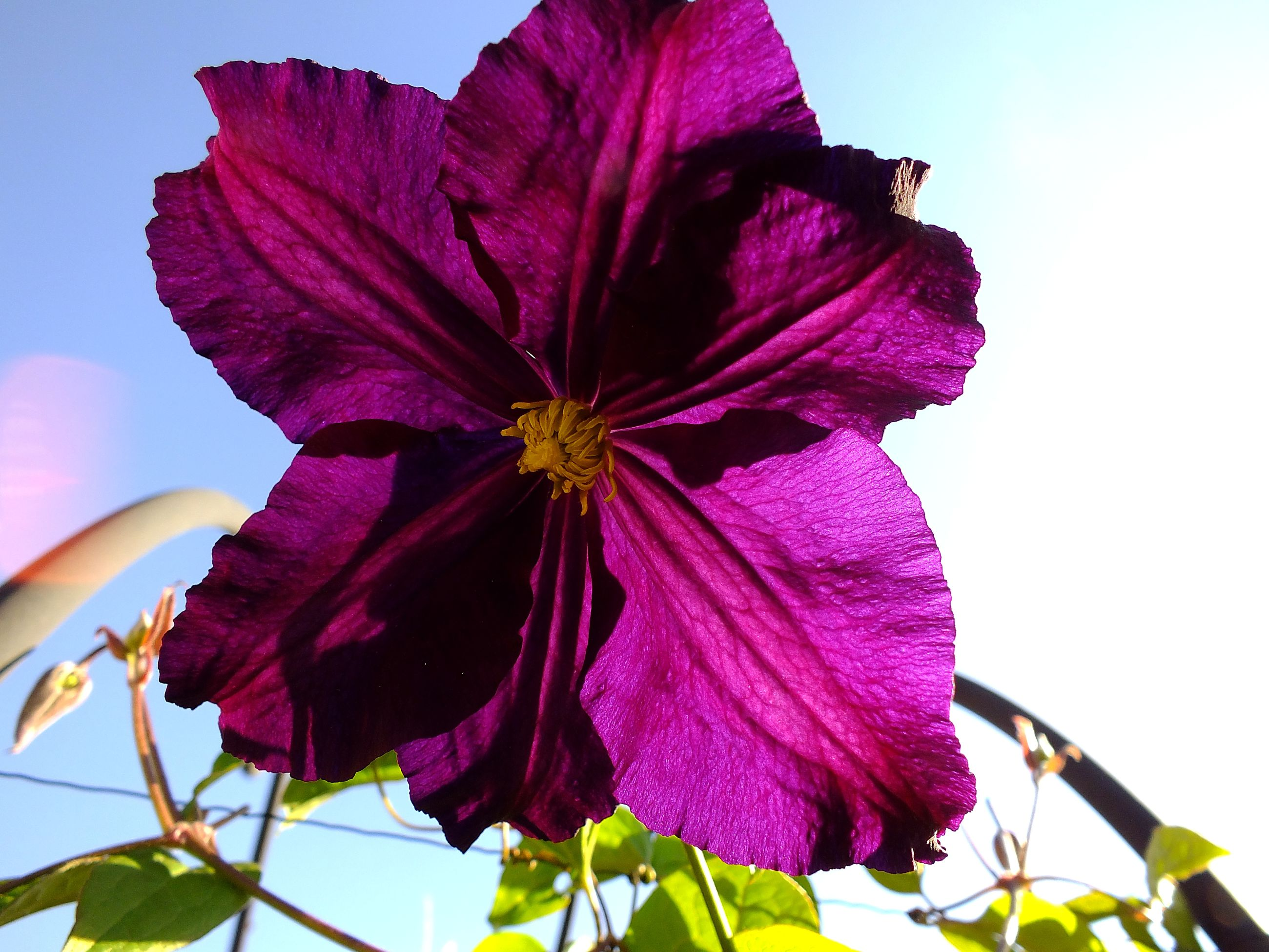 flowering plant, flower, plant, beauty in nature, petal, fragility, close-up, vulnerability, flower head, inflorescence, freshness, growth, nature, purple, no people, sky, petunia, focus on foreground, day, outdoors, pollen