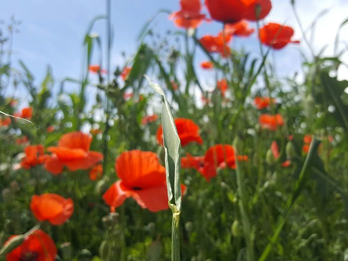 Poppy Season On Tour Outdoors Plant Growth Art Photo Art Is Everywhere Art Photgraphy Personal Perspective Beauty In Nature Things Around Me Card Design Close-up Rural Scene Focus On Foreground Fragility Nature Light And Shadow While Walking Green Color Scenics Grass Sunlight Textured  Summer Sommergefühle