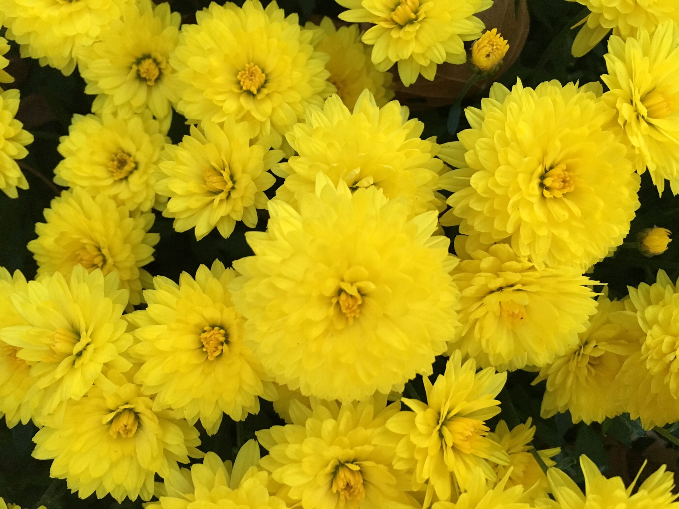 flower, yellow, petal, freshness, full frame, fragility, flower head, backgrounds, beauty in nature, close-up, growth, high angle view, nature, indoors, abundance, blooming, no people, plant, vibrant color, bunch of flowers