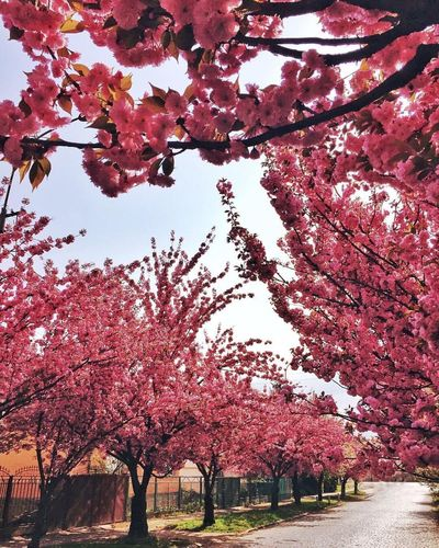 EyeEm Best Shots Tree Nature Beauty In Nature Flower Outdoors Day Springtime Sacura IPhoneography