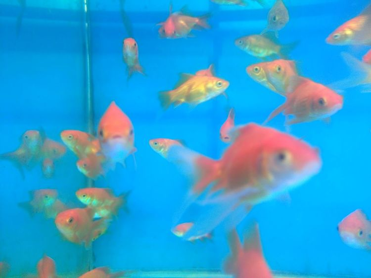 Animal Themes Animals In Captivity Aquarium Blue Close-up Day Domestic Animals Fish Fish Tank Fishbowl Goldfish Group Of Animals Horizontal Indoors  Large Group Of Animals Nature No People Pets School Of Fish Sea Life Swimming Underwater Water