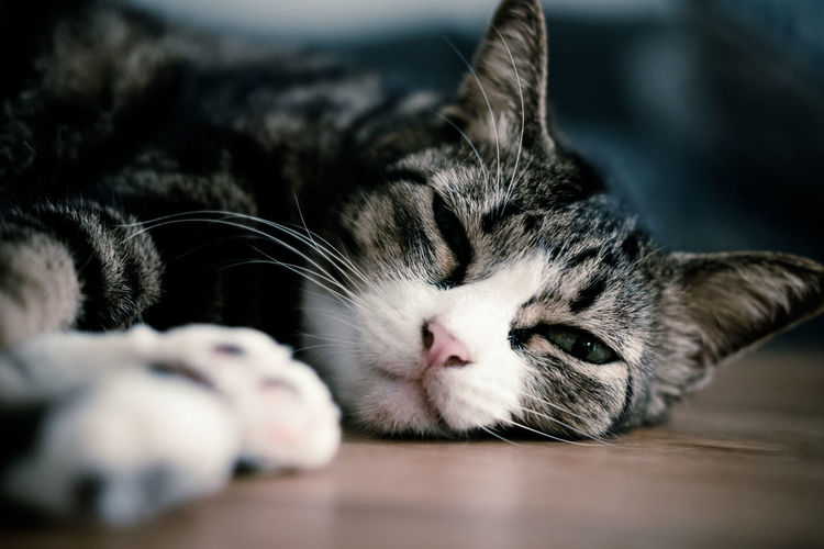 Animal Animal Head  Animal Themes Cat Close-up Domestic Domestic Animals Domestic Cat Eyes Closed  Feline Indoors  Mammal Napping No People One Animal Pets Relaxation Resting Selective Focus Sleeping Tabby Vertebrate Whisker