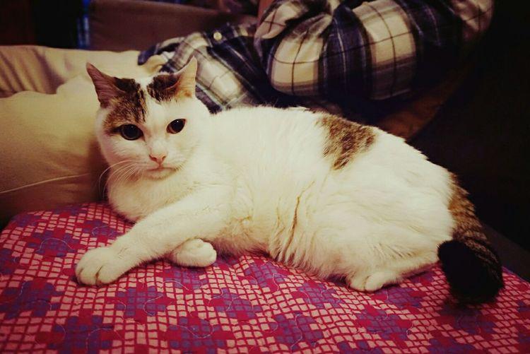 艾咪。 Amy Relaxing Cat♡ Lazy Lovely 20150207