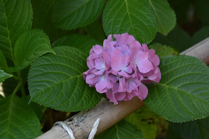 Beauty In Nature Close-up Day Flower Hydrangea Leaf Nature No People Outdoors Purple Flowers