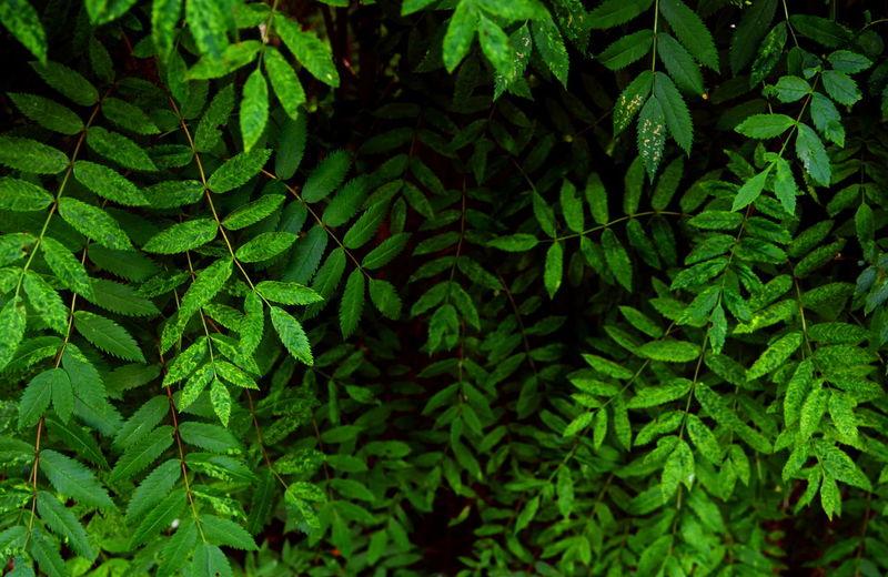 Close-up of rowan leaves
