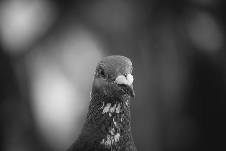 Pigeon in monochrome