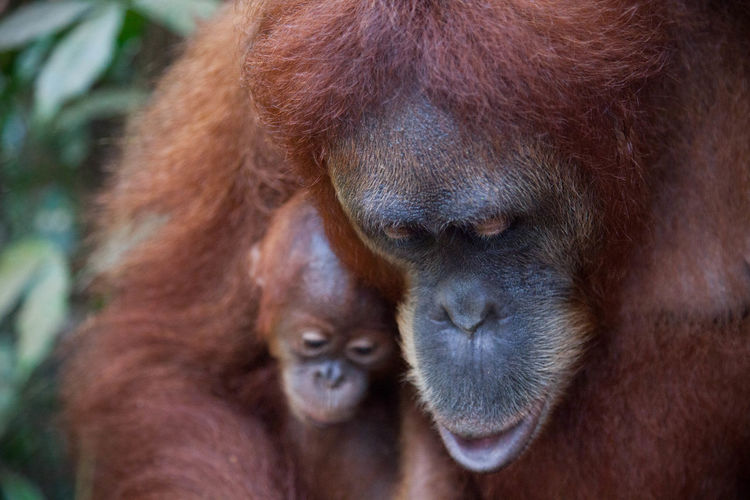 Endangered Species Family Sumatra  Travel Photography Animal Family Animal Themes Animal Wildlife Animals In The Wild Brown Close-up Endangered Animals Female Animal Indoors  Mammal Monkey Nature Orangutan Orangutans Outdoors Portrait Primate Travel Destinations Young Animal