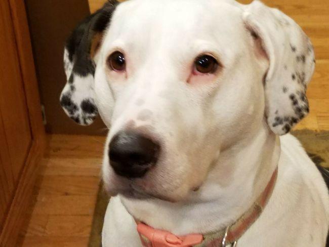 EyeEm Selects EyeEmNewHere Pet Collar Looking At Camera Close-up Portrait Indoors  Beagle