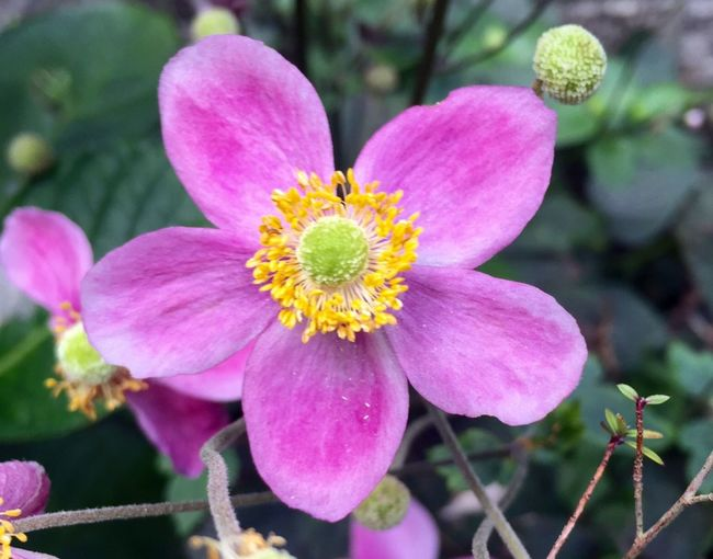 Flower Petal Fragility Beauty In Nature Nature Growth Flower Head Freshness Plant Pink Color Outdoors No People Blooming Close-up 花 秋明菊