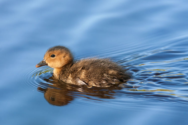Wigeon (Anas penelope) chick swimming. Anas Penelope Finland Animal Themes Animal Wildlife Animals In The Wild Bird Blue Water Close-up Dabbling Duck Day Lake Nature No People One Animal Outdoors Reflections Rippled Summer Swimming Water Waterfront Wigeon Young Animal Young Bird