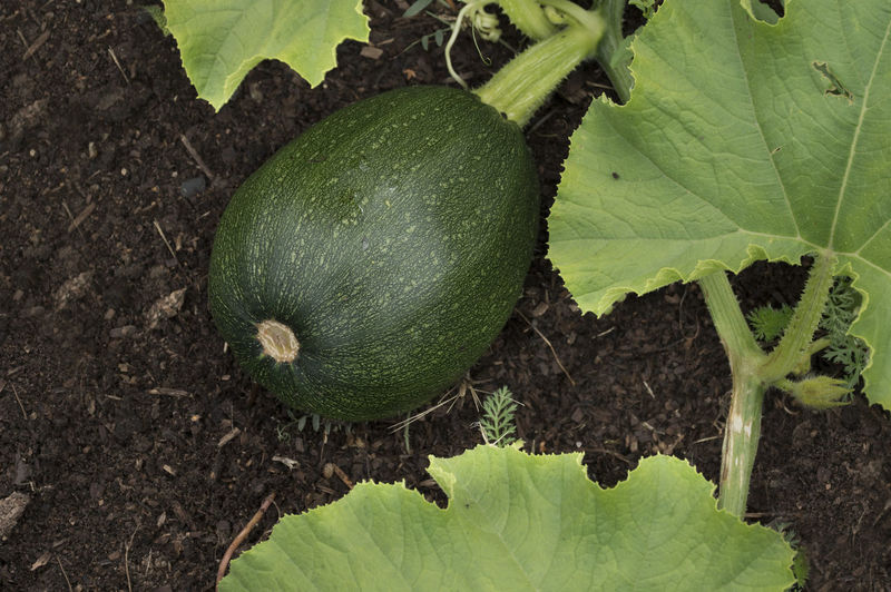 Squash growing on the vegetable bed in the garden. Agriculture Close-up Day Field Food Food And Drink Freshness Gardening Green Color Growth Healthy Eating Leaf Nature No People Outdoors Plant Plant Part Vegetable Wellbeing Zucchini; Ripe; Garden; Season; Harvest; Crop; Plant; Plants; Green; Tasty; Leaves; Healthy; Vegetarian; Diet; Vegetables; Vitamins; Summer; Soil; Squash; Pumpkins; Leaf; Gardening; Botanical; Grass; Agriculture.