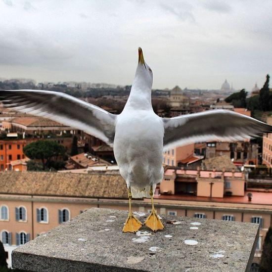 Gabbiano Palatino Roma