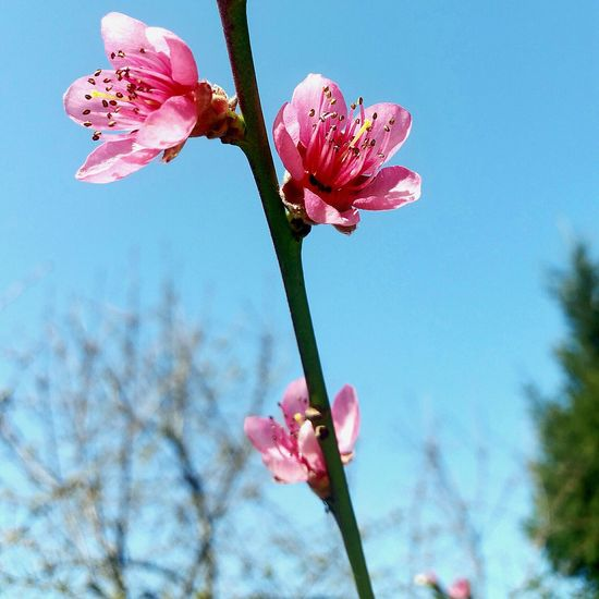 Peachtree Pink Flower Blue Sky Flowers