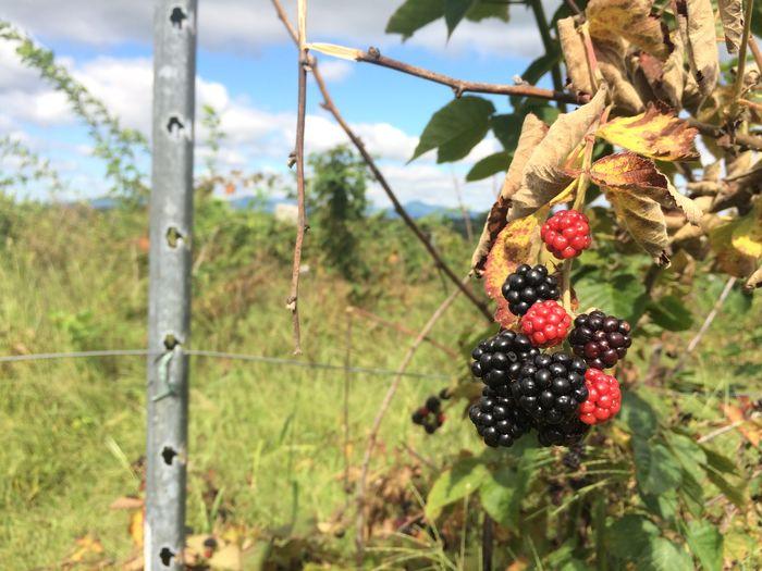 Close-up of blackberries hanging against sky