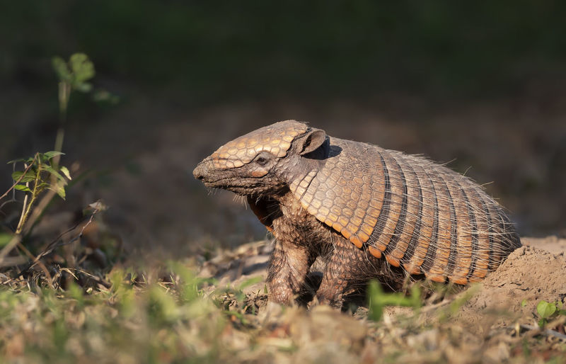 Close-up of a lizard on a field