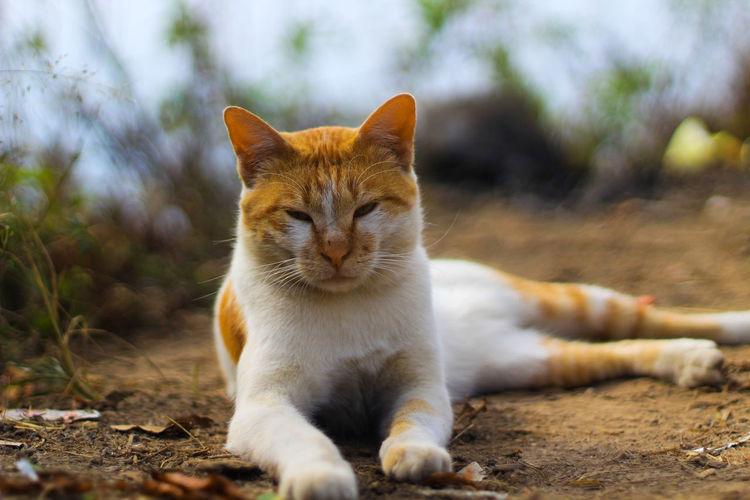 Feline Ear