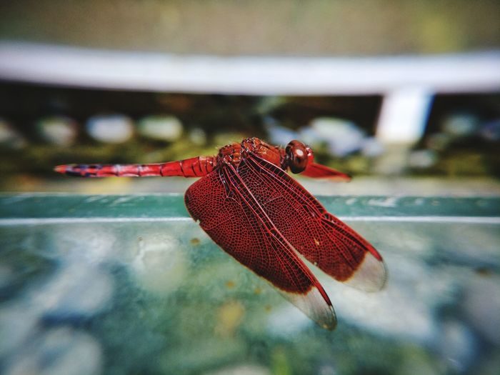 Eyeem Philippines Nature Insect Photography Insect EyeEm Best Shots EyeEm Selects Red Insect Close-up Animal Themes Dragonfly Animal Wing Animal Markings Winged