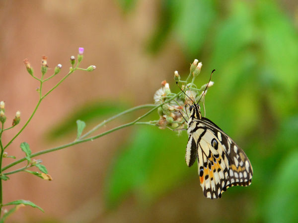The Close-up Butterfly on the rest situation Colorful Wing Forest ASIA Natural Leaf Butterfly On Flower Indian Hemp Sunn Hemp Tiger Butterfly Relaxing Blurred Background Blurred Motion Abstract Art Branches And Leaves Branch Grass Nature Brown Yellow Flying Flower Butterfly - Insect Butterfly