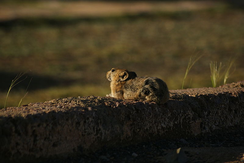 Gobi Desert Mongolia Animal Wildlife Animals In The Wild Day Focus On Foreground Mammal Nature No People One Animal Outdoors Pika Rodent