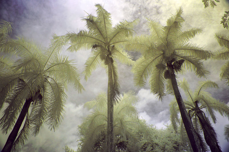 Low angle view of coconut palm trees against sky with infrared camera