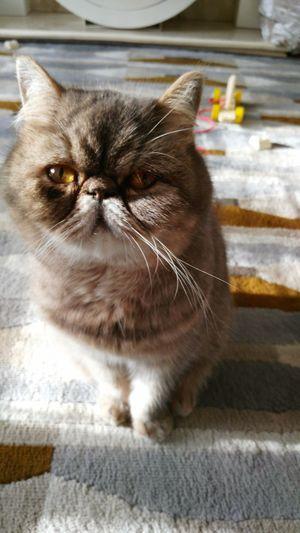 Cat model: